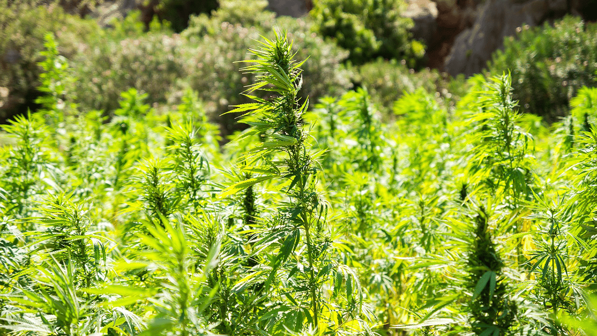 5 Uses for Hemp to Incorporate Into Your Life